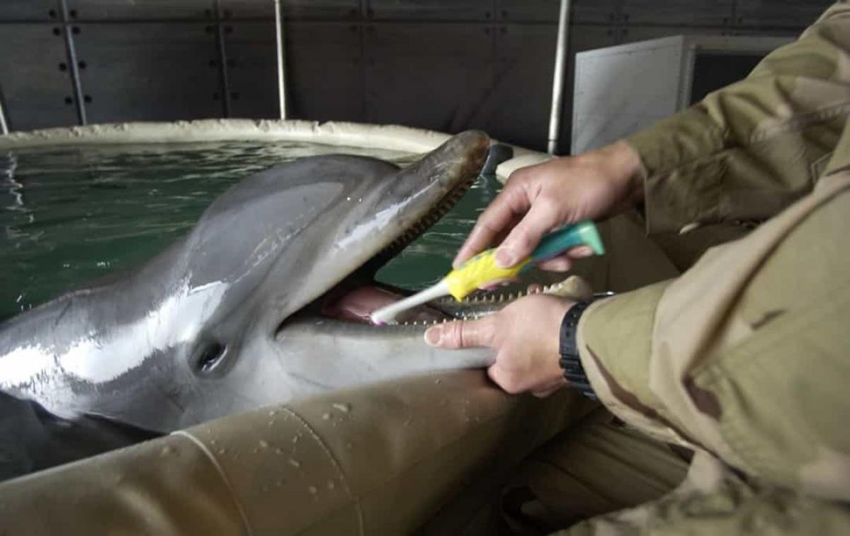 Những chú cá heo thậm chí được Hải quân Mỹ huấn luyện để phát hiện mìn, phát hiện kẻ thù và canh gác kho hạt nhân.