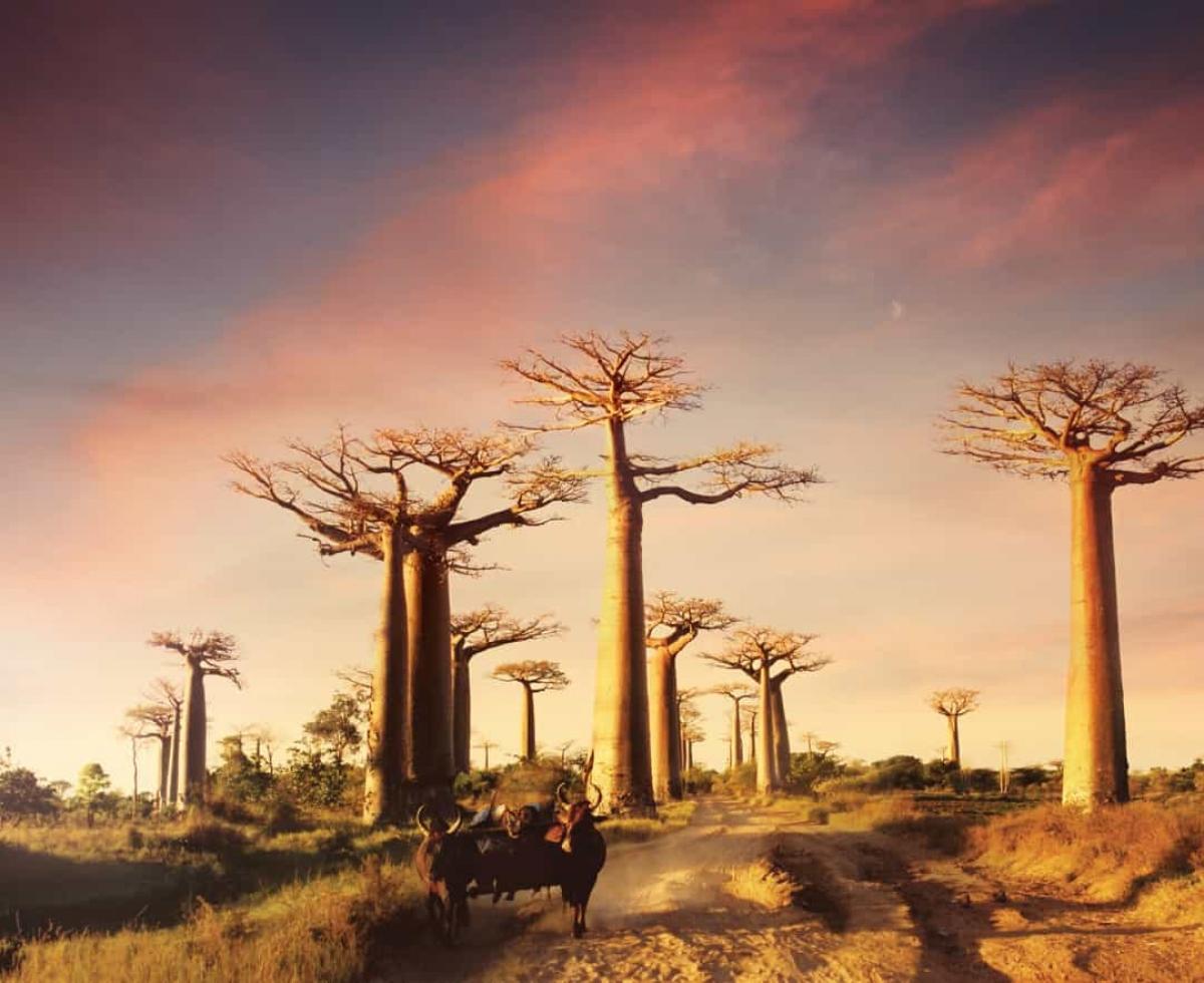 Bạn có thể thấy những cây bao báp với hình dáng độc đáo này ở Madagascar. Đã có nhiều du khách tới đây để được ngắm loài cây vĩ đại này.
