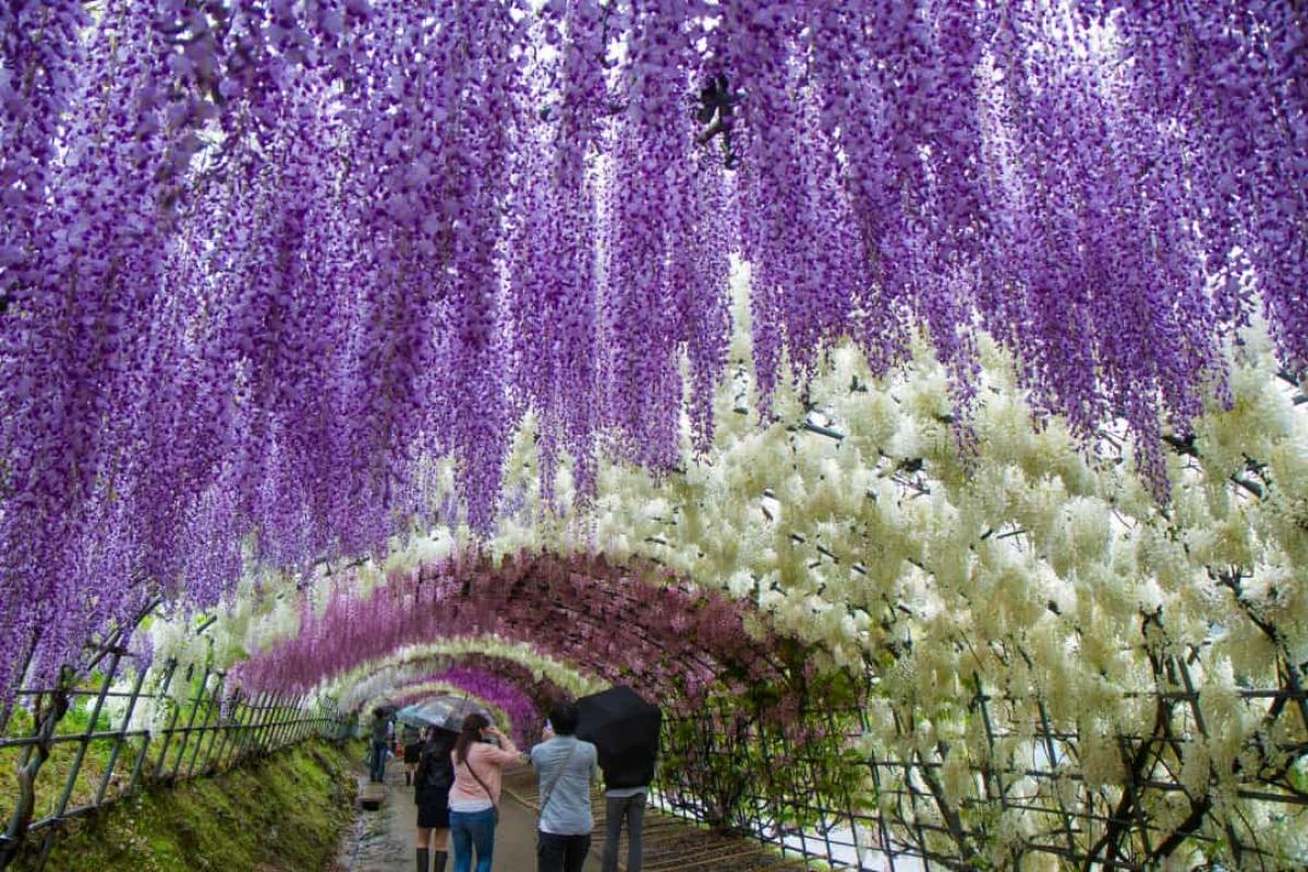 Những cây hoa tử đằng ở Nhật Bản đã sống hàng chục năm tuổi và rủ xuống như những dòng thác tạo nên cảnh tượng tuyệt đẹp.
