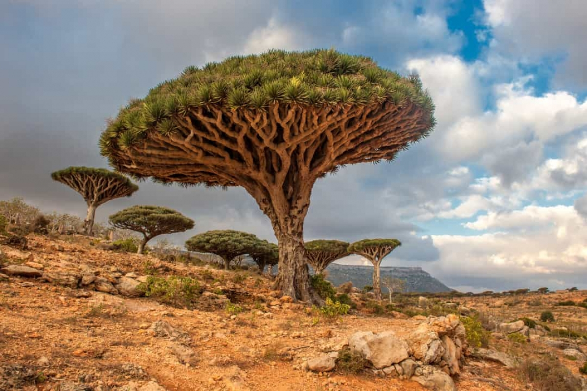 Những cây máu rồng này có thể được tìm thấy tại Socotra, một quần đảo ở Yemen. Sở dĩ chúng có tên gọi như vậy là do nhựa cây có màu đỏ.