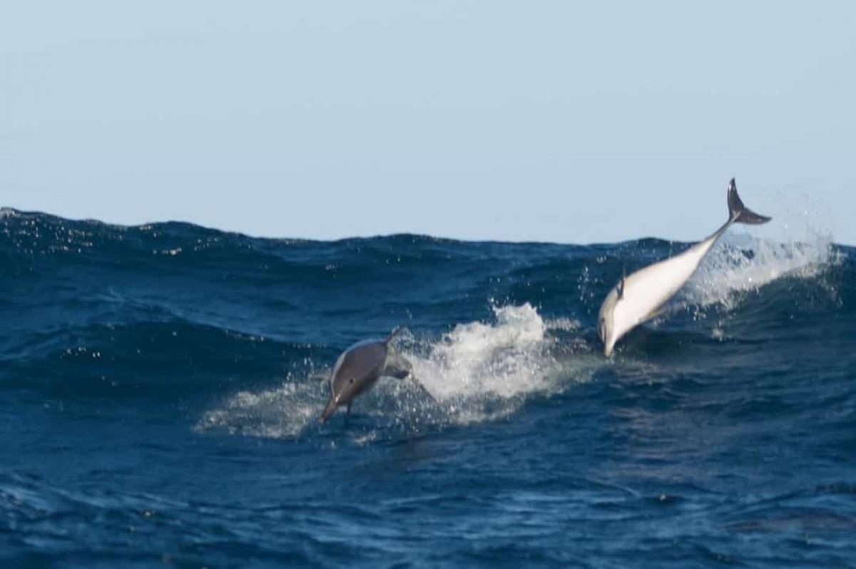 Cá heo giao tiếp với nhau dưới nước qua những tiếng lách cách và huýt sáo. Chúng tạo ra cả những âm thanh để đe dọa kẻ săn mồi hoặc được sử dụng khi con cái muốn la mắng con của nó.