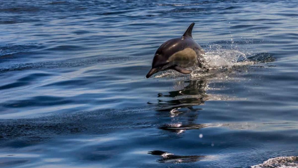 Cũng giống như vân tay con người, mỗi chú cá heo có tiếng huýt sáo riêng. Chúng sử dụng những tiếng huýt sáo độc đáo của mình để gọi nhau. Các nhà khoa học tin là những chú cá heo thậm chí có thể nhớ tiếng huýt sáo của nhau sau nhiều năm xa cách.