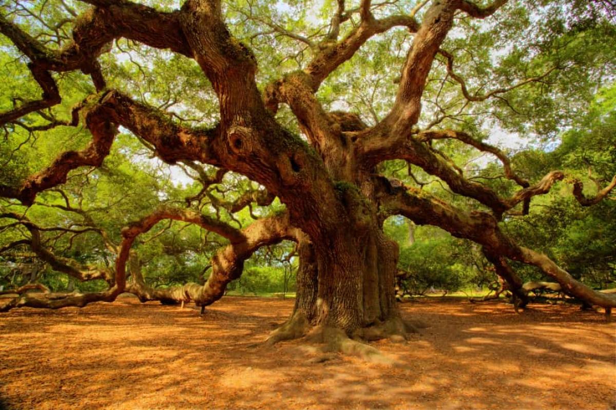 Những cây sồi thần có tuổi đời từ 400 - 500 năm được tìm thấy ở Công viên Angel Oak ở Nam Carolina.