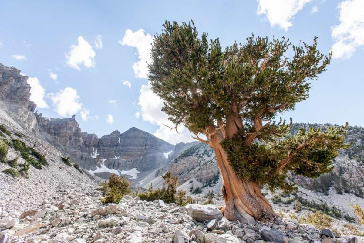 Nevada Basin là nơi tập trung những cây thông Bristlecone với hình dạng kỳ lạ. Những cây thông này có thể chịu đựng thời tiết khắc nghiệt và nhiều cây có tuổi đời lên tới 5.000 năm.