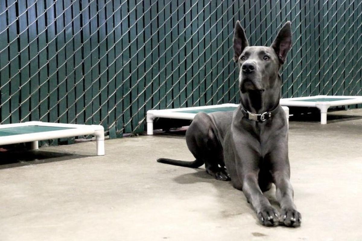 Pennsylvania: ChóGreat Dane. Người sáng lập Pennsylvania William Penn cũng có một con chú chó thuộc giốngGreat Dane.