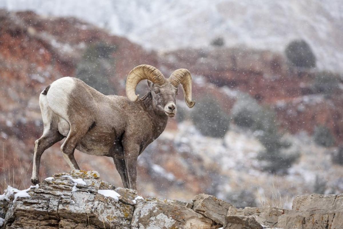 Nevada:Cừu sừng lớn. Loài độngvật có sừng này trở thành động vật chính thức của bang Nevada vào năm 1973.