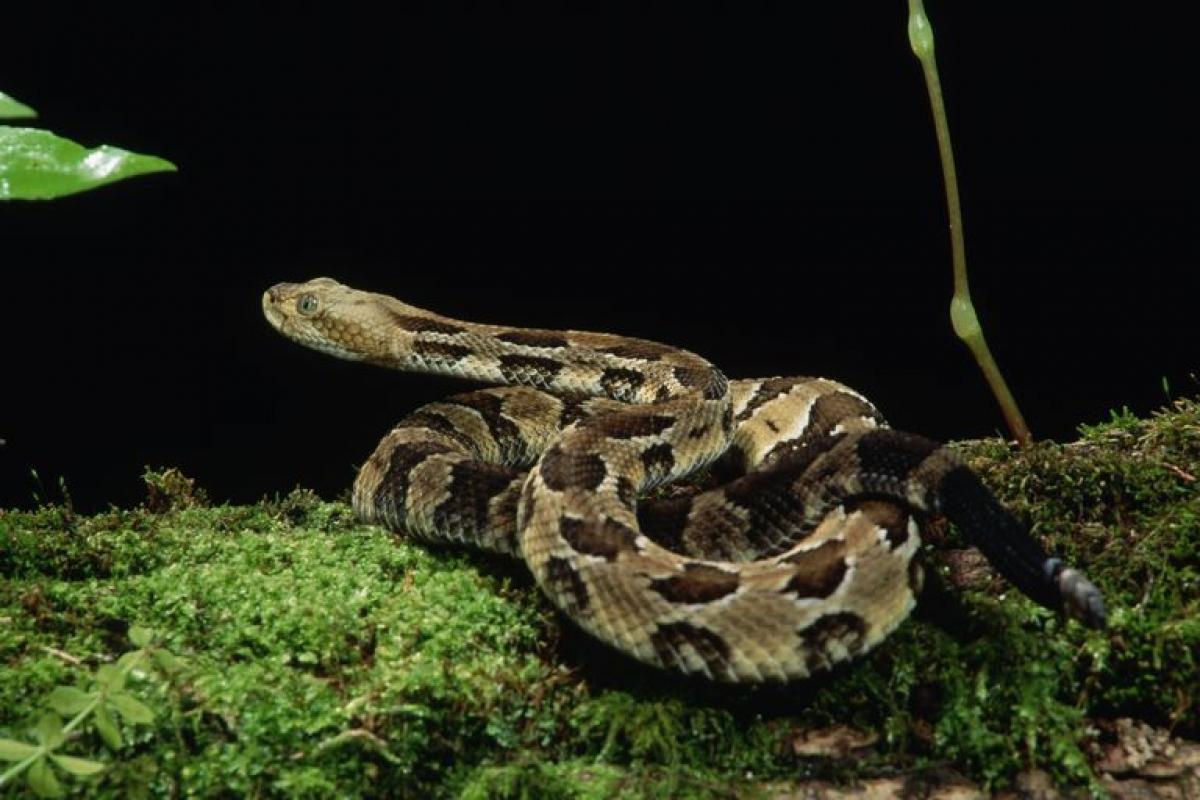 Tây Virginia:Rắn đuôi chuông. Loài bò sát có nọc độc này có các mảng màu nâu hoặc đen hình chevron và sống ở các vùng núi ở Tây Virginia.