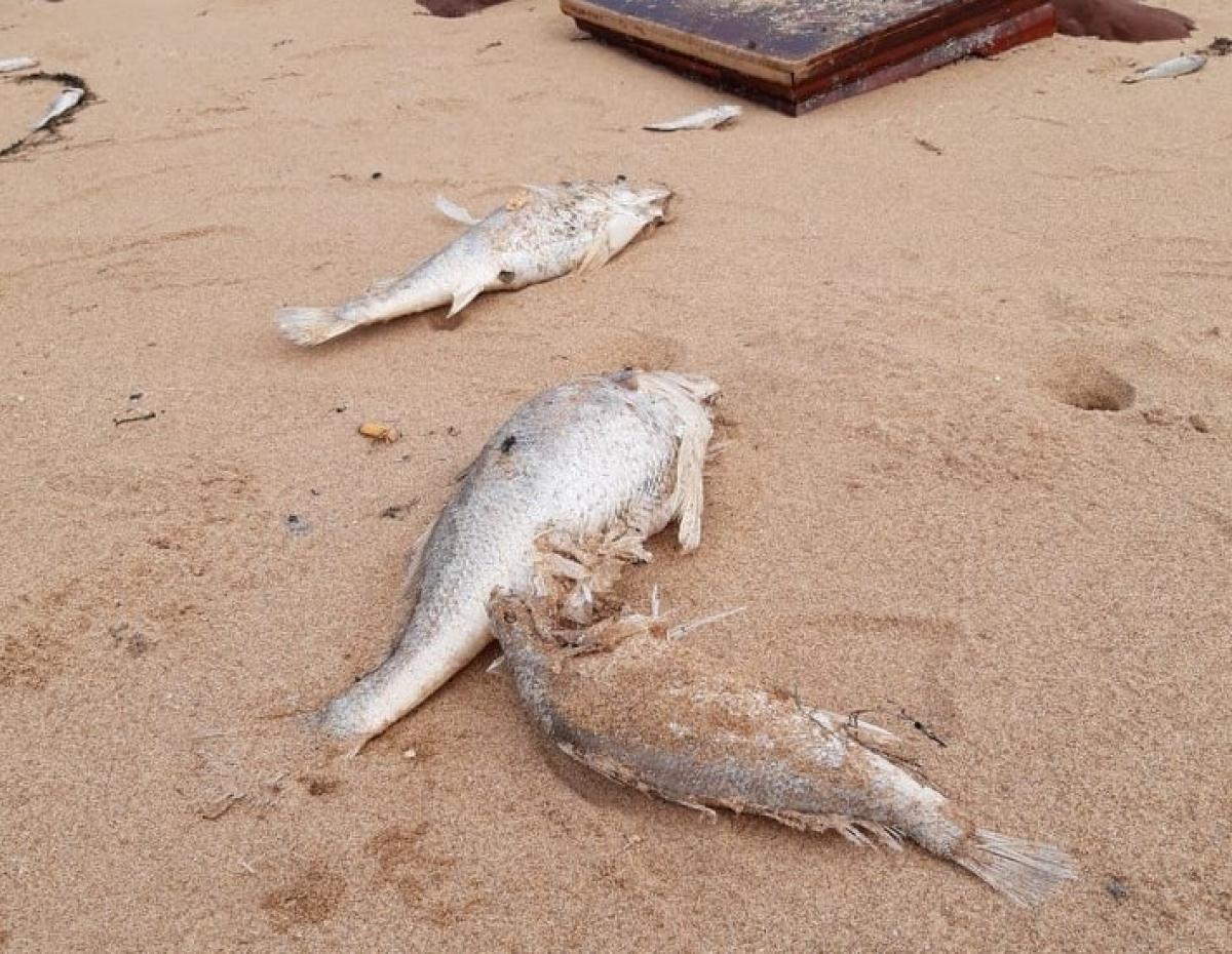 Hiện tượng cá chết nhiều dạt vào bãi biển khiến người dân lo lắng.