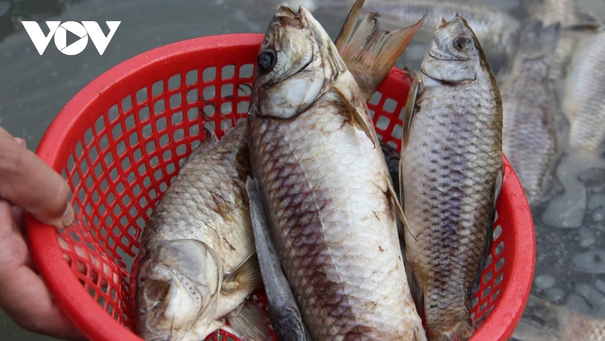 Cá nuôi trong bè chết hàng loạtở huyện Dầu Tiếng, tỉnh Bình Dương.