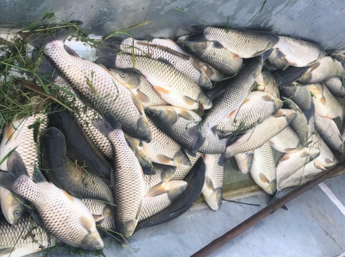 Cá của người dân nuôi cá lồng chết bất thường trên sông Chu (Thanh Hóa) năm 2020.