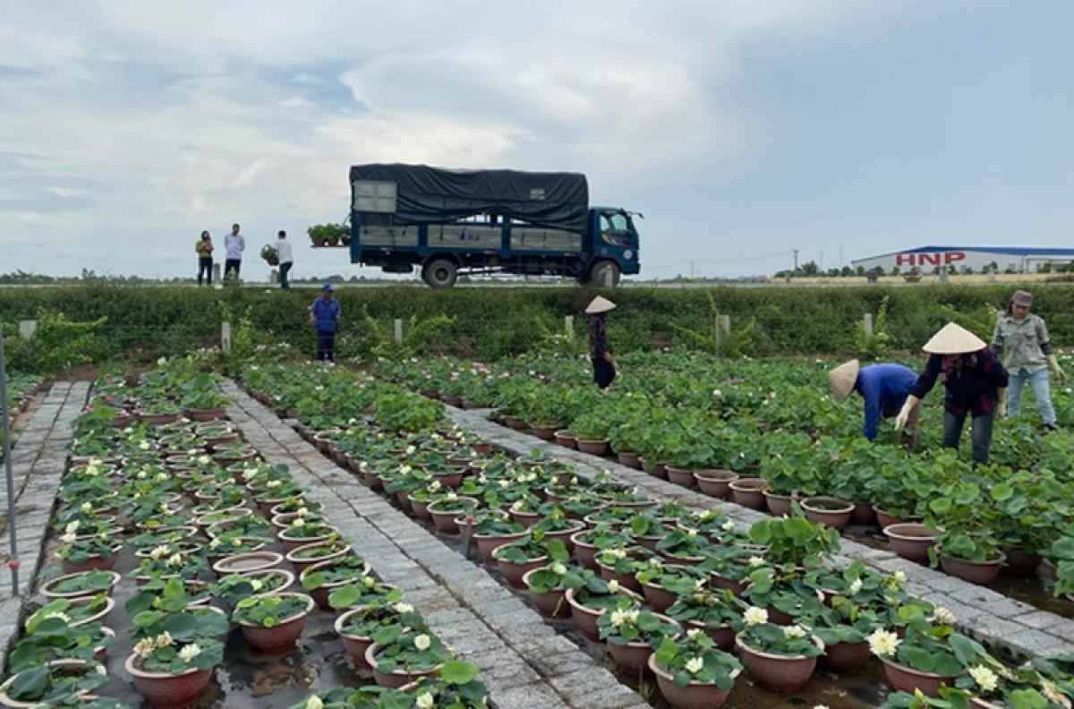 """Mỗi năm, """"lão nông"""" đều tăng số lượng chậu sen và đều bán hết. Sau khi bán hết vài nghìn chậu trong năm ngoái, năm nay anh đã trồng tăng số lượng lên đến 10.000 chậu sen và phải thuê 5 nhân công để trồng và chăm sóc."""