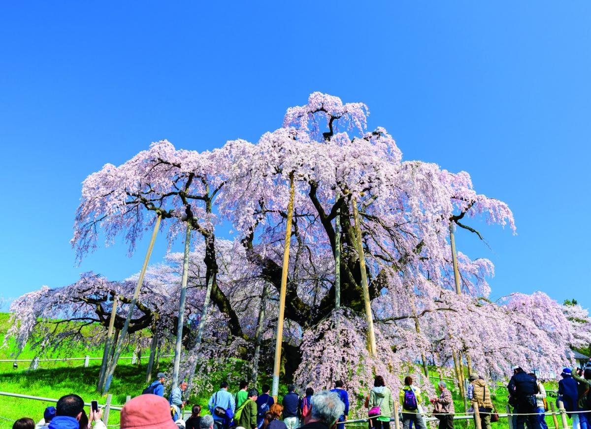 """Ở Fukushima có cây hoa anh đào Miharu Taki-zakura hơn 1.000 năm tuổi, thuộc giống Edohigan - một trong ba giống hoa anh đào chính ở Nhật Bản. Chùm hoa anh đào rủ sát xuống mặt đất tựa như thác nước, vì vậy mà có tên là """"Takizakura"""" (nghĩa là 'hoa anh đào thác nước') và được coi là giống hoa quý hiếm của đất nước Nhật Bản."""