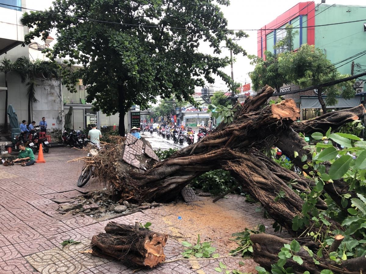 Một cây xanh tại giao lộ Trường Chinh - Nguyễn Văn Quá, Quận 12 bật gốc trong cơn mưa lúc rạng sáng.