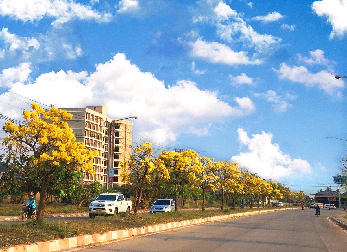 Đường Noong-bưc ấn tượng với hàng cây hoa vàng rực suốt 2 km.