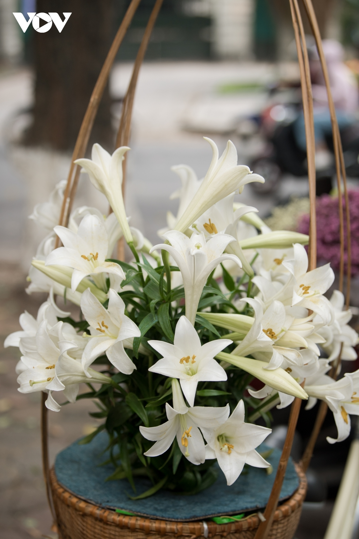 Their subtle scent coupled with elegant white petals allows the lilies to enthrall many people.