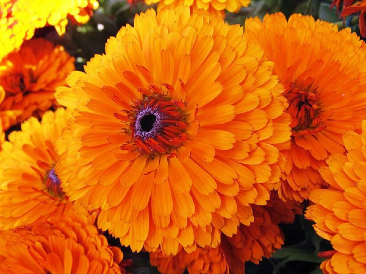Lợi ích số 4: Hoa cúc vạn thọ được sử dụng để điều trị các vết trầy xước nhẹ và các vết thương ngoài da nhờ có tính sát trùng và chống nấm. Hoa nữ lang được sử dụng để điều trị đau đầu và mất ngủ.