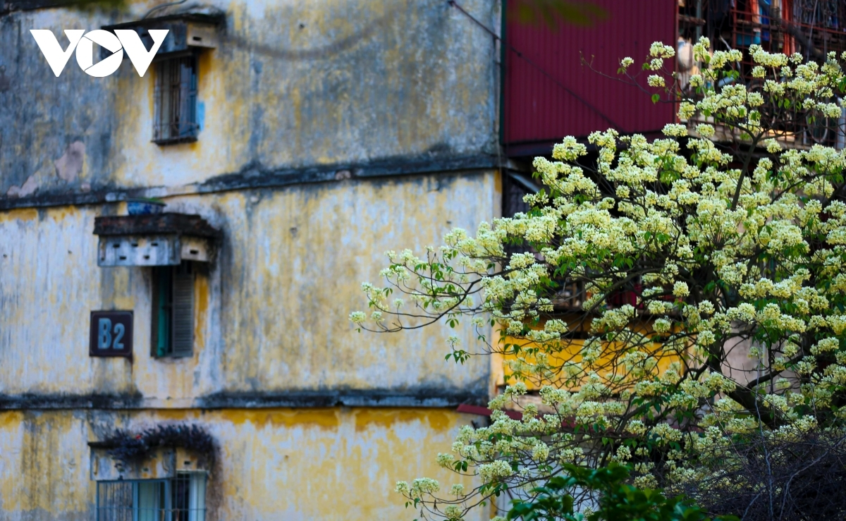 Another old Hoa Bun tree can be found on Vinh Ho street in Hanoi.