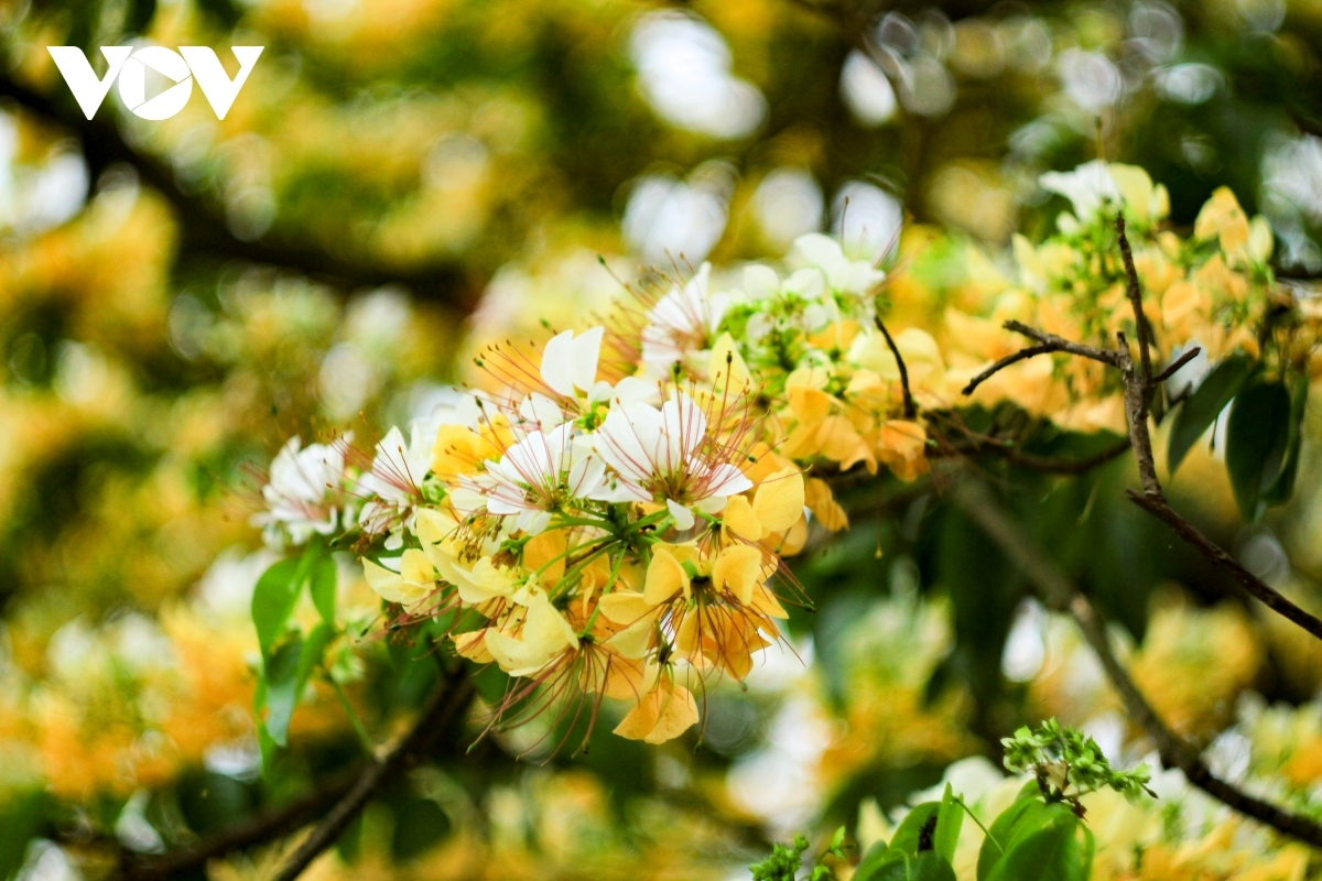 Visitors are able to enjoy the pleasant aroma coming from the flowers. Indeed, when they start to bloom, the pistils look similar to noodles.