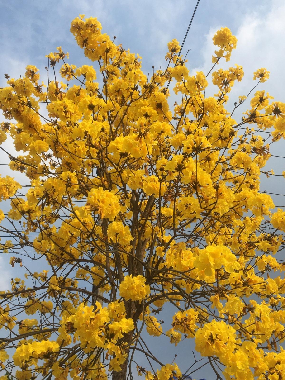 Hoa Lokkhe savan nở rực rỡ chẳng khác gì hoa mai vàng Nam bộ nhưng đóa hoa lớn hơn nhiều.