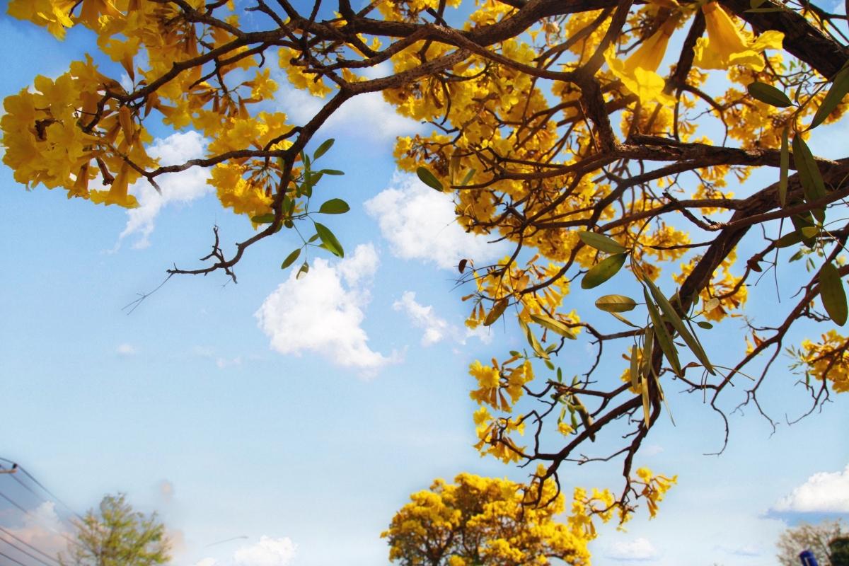 Những cây hoa vàng kiêu hãnh khoe sắc trên nền trời xanh của Lào.