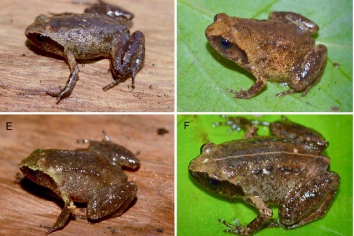 Loài ếch tí hon mới được phát hiện