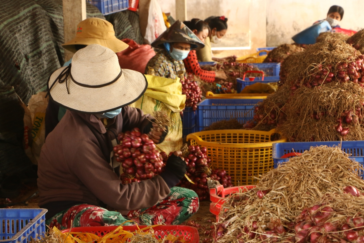 Tỉnh Sóc Trăng vận động ủng hộ tiêu thụ hành tím cho nông dân thị xã Vĩnh Châu.