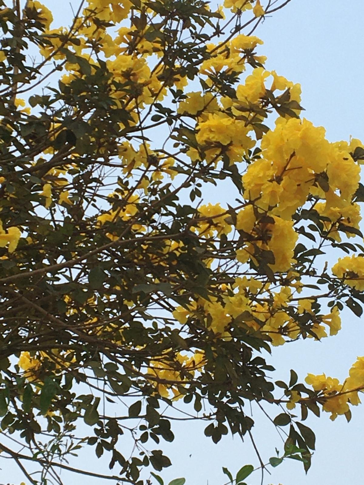 Khi hoa Lokhe savan nở cũng là lúc cây nảy lộc non, đem lại cho gia chủ niềm hy vọng về một năm mới nhiều may mắn, hạnh phúc hơn.