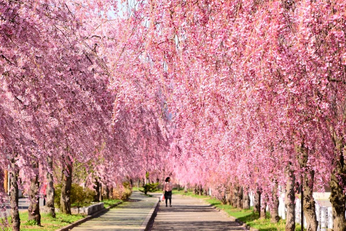 Tuyến đường sắt Nicchu được trùng tu lại thành tuyến đường đi dạo bộ, đạp xe dài khoảng 3km. Dọc con đường này có hàng nghìn cây hoa anh đào Shidare. Vào tháng 4, hoa anh đào nở rộ tại đây vô cùng đẹp, thu hút rất nhiều du khách ghé thăm.
