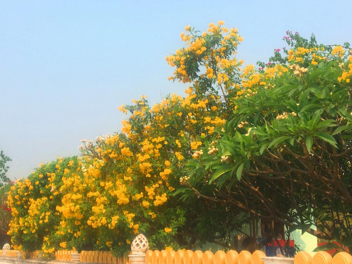 Những bức tường vàng rực sắc hoa như thế này luôn làm cho đường phố Vientiane thêm rực rỡ dưới nắng.