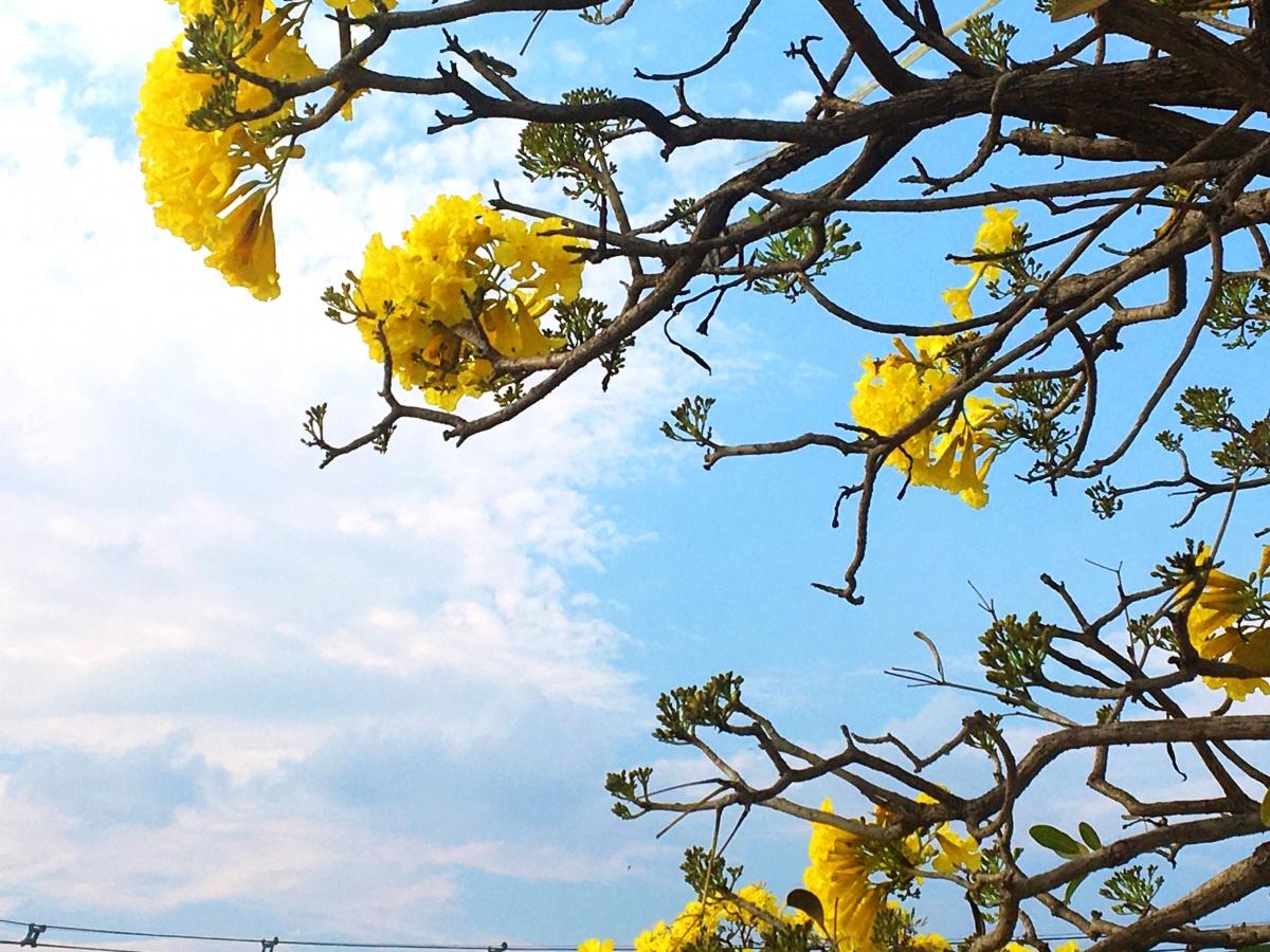 Những cành lá khẳng khiu với những chùm nụ trông giống như những rừng mai vàng Yên Tử vào xuân.