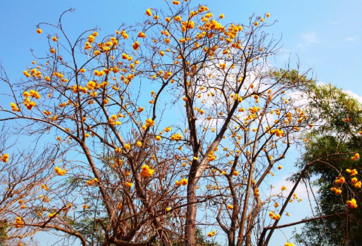 Ngoài hoa gạo đỏ (Mộc miên), ở Lào còn trồng nhiều cây hoa gạo vàng. Từ đường phố đến các công sở, đền chùa. Từ tháng 3, cây rụng lá, hoa bắt đầu bung nở.