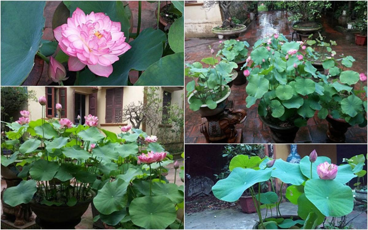 Chỉ cần vài tháng là sen nảy mầm và ra hoa rất đẹp, vừa có hương vừa có sắc.