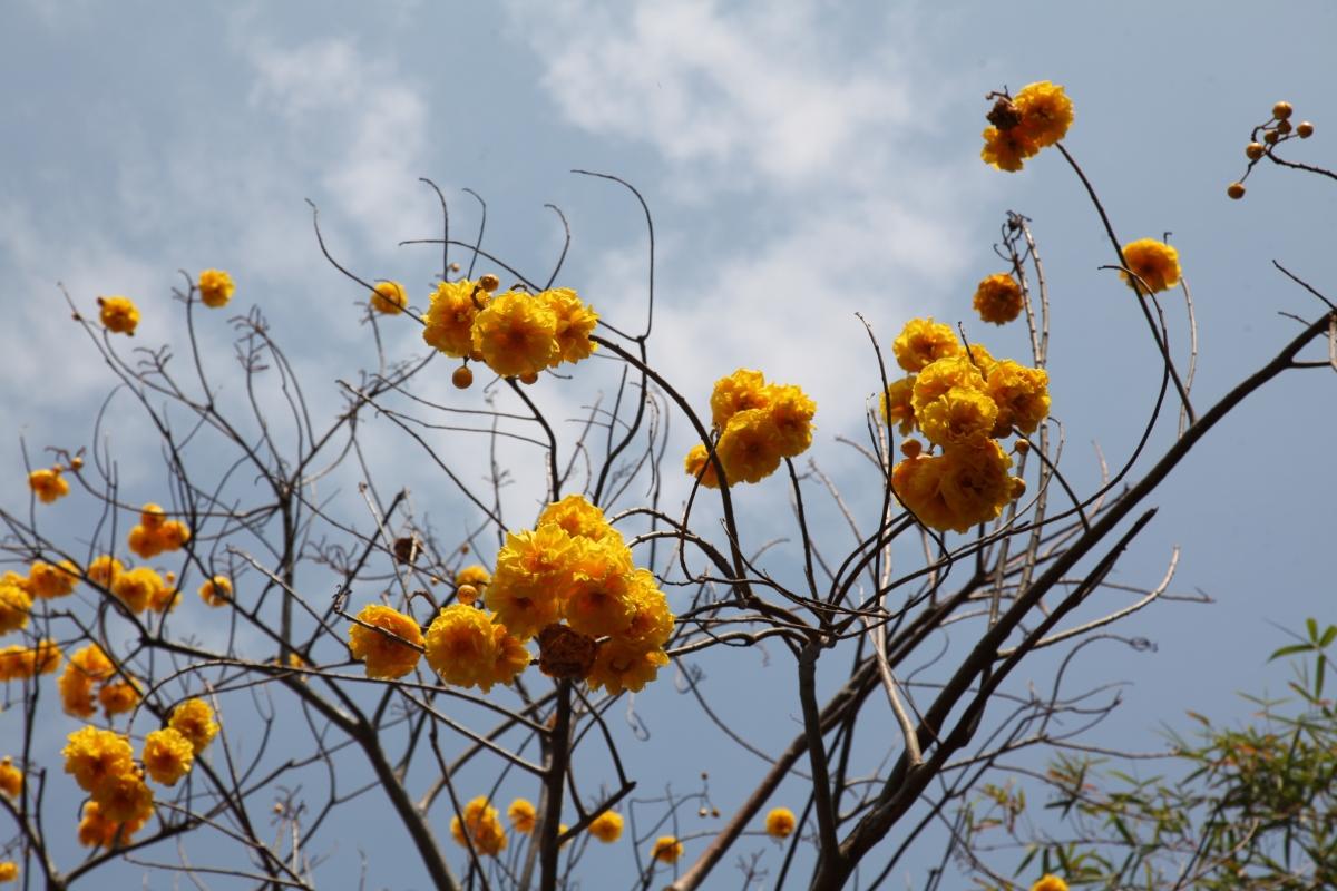 Từ tháng 3, hoa gạo vàng nở thành chùm, trông như những chùm đèn lồng.