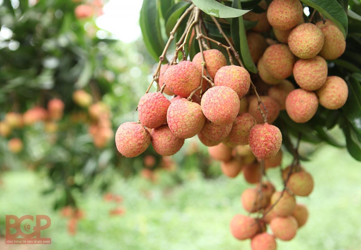 Mùa thu hoạch vải thiều đặc sản Lục Ngạn, tỉnh Bắc Giang đang đến gần (Ảnh minh họa: KT)