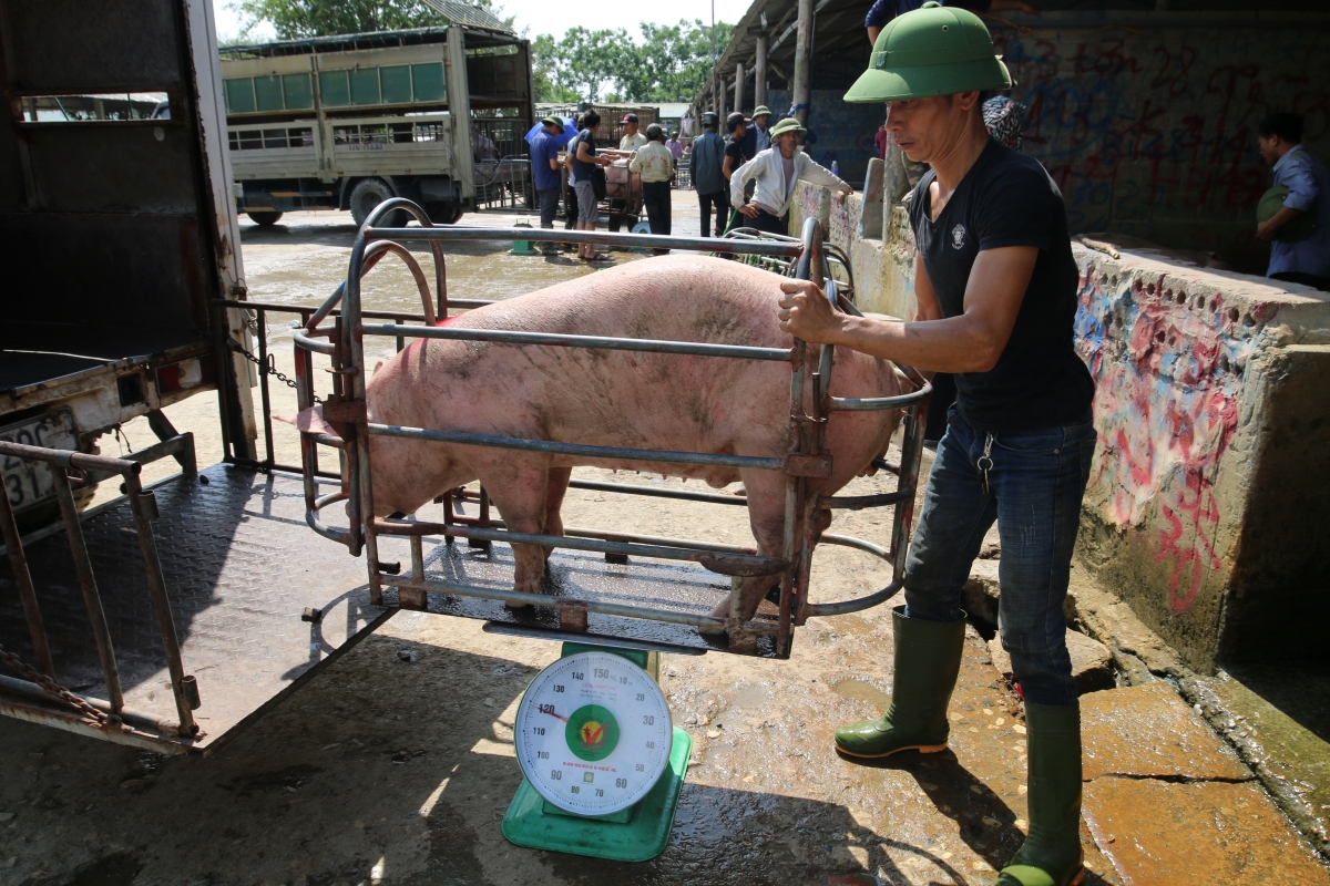 Giá lợn hơi giảm trong khi giá thức ăn chăn nuôi liên tục tăng chóng mặt trong nhiều tháng qua, khiến không ít nông dân thua lỗ, phải bỏ chuồng.