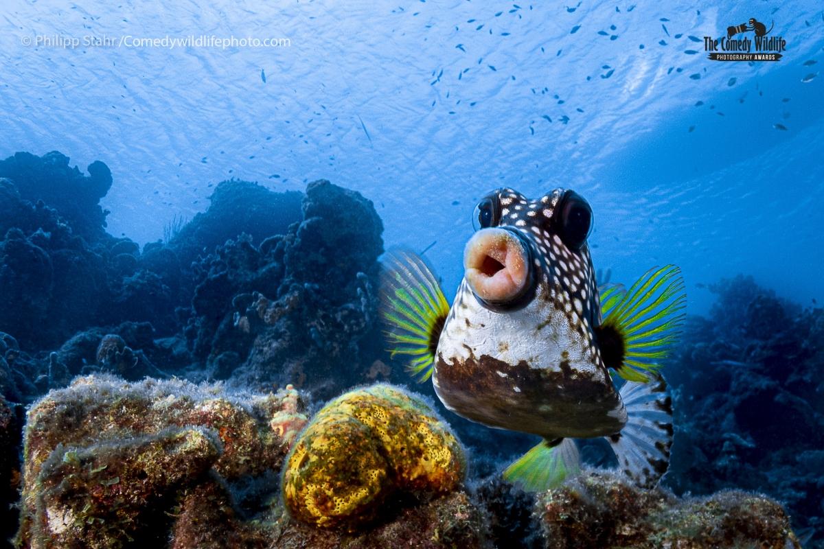 """Bức ảnh này được nhiếp ảnh gia Philipp Stahr chụp ở Curao, Caribe thuộc Hà Lan. Ông nói rằng việc chụp những con cá nắp hòm vô cùng khó bởi khi nhìn thấy thợ lặn tiến lại gần, """"chúng thường quay lưng lại với bạn. Đó là lý do tại sao tôi đã bơi trên con cá này 50cm và tỏ ra không quan tâm gì tới nó"""". Đến một thời điểm phù hợp, nhiếp ảnh gia này đã chụp được biểu cảm rất đáng yêu của chú cá nắp hòm này."""