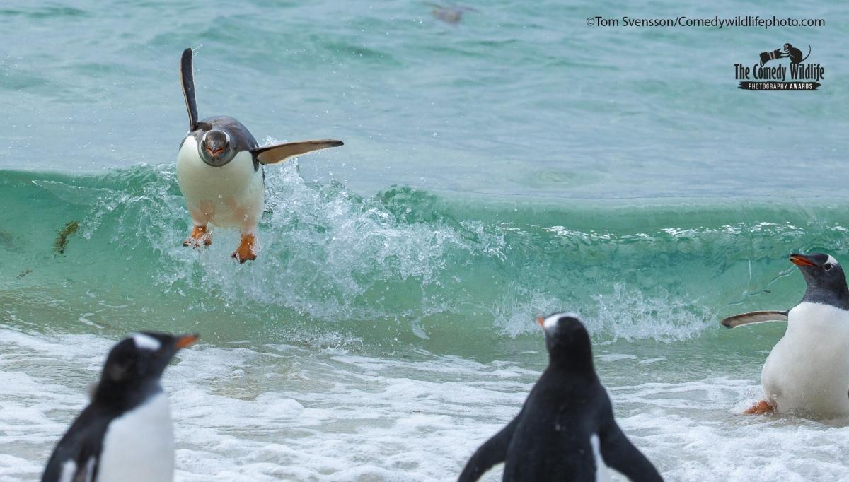 Tom Svensson từ Thụy Điển đã ghi lại bức ảnh một chú chim cánh cụt đang lướt sóng trong khi những chú chim cánh cụt khác đang ngỡ ngàng nhìn theo.
