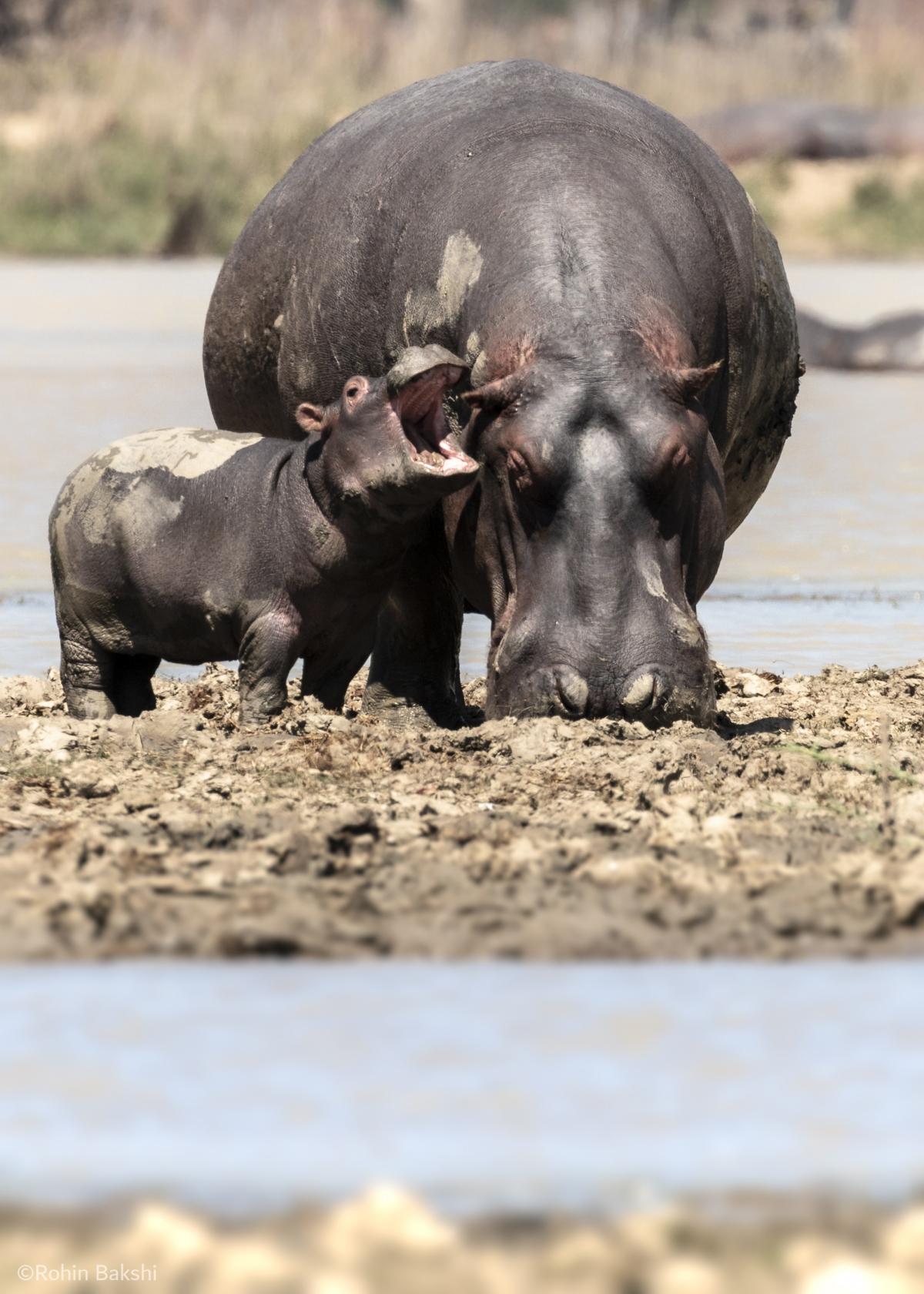 Chú hà mã con đang cố gắng khiến hà mã mẹ chú ý đến nó nhưng dường như nó đã không thành công, nhiếp ảnh gia Robin Bakshi tiết lộ về khoảnh khắc thú vị chụp tại Vườn Dự trữ Vwaza Game Reserve ở Malaw.