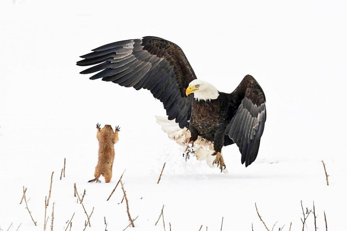 """Nhiếp ảnh gia Arthur Trevino từ Longmont, Mỹ đã ghi lại bức ảnh này và gọi khoảnh khắc trên là """"câu chuyện về David và gã khổng lồ Goliath"""". Chú đại bàng trên đã bỏ lỡ cơ hội túm được con mồi khi chú cầy hương thảo nguyên này khiến đại bàng giật mình và nhanh chóng trốn vào một cái hang gần đó."""