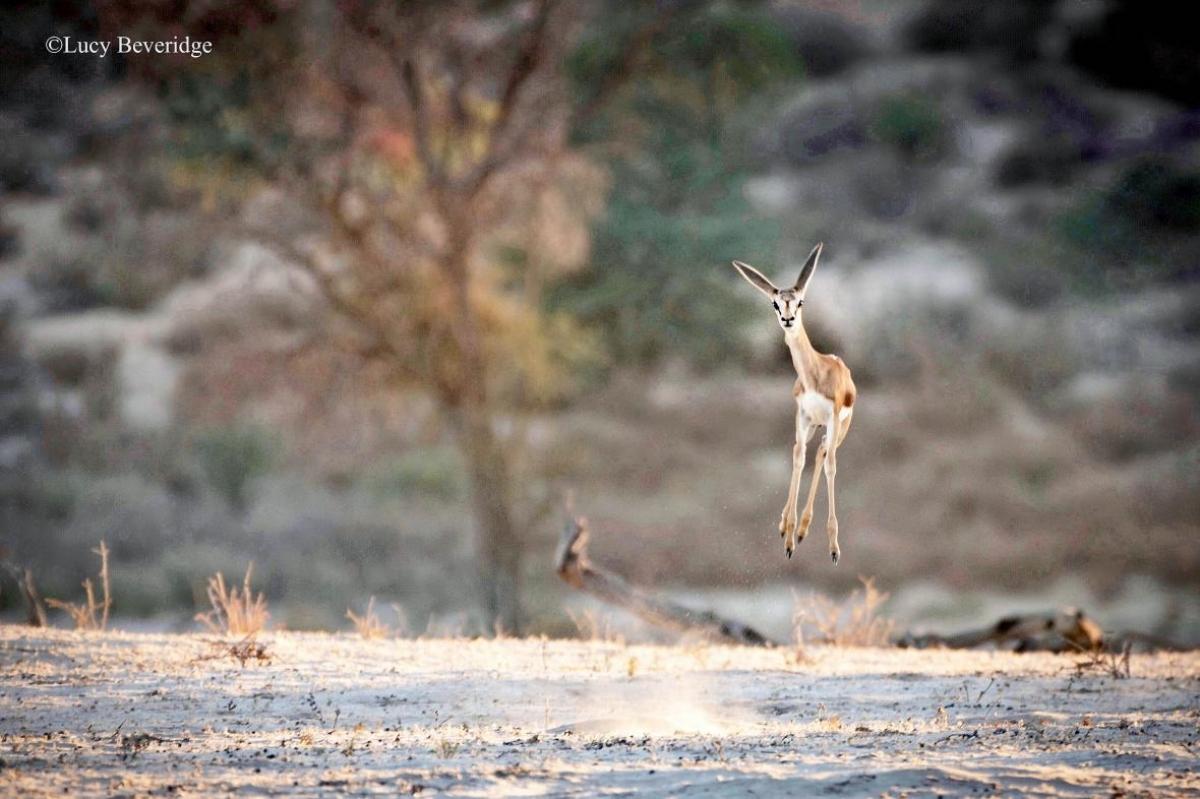 Một chú linh dương Nam Phi dường như rất hào hứng khi mặt trời bắt đầu mọc ở Công viên Kgalagadi Transfrontier tại Nam Phi qua bức ảnh của nhiếp ảnh gia Lucy Beveridge đến từ Madrid, Tây Ban Nha. Mặc dù không rõ vì sao những chú linh dương này thích nhảy lên nhưng một vài giả thuyết cho rằng chúng làm vậy để thể hiện sức mạnh trước kẻ thù và thu hút bạn tình. Tuy nhiên, những người khác thì cho rằng chúng nhảy lên là vì quá hào hứng.