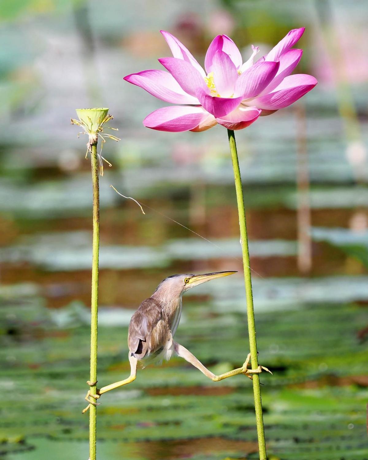 """Nhiếp ảnh gia KT WONG cho biết chú cò lửa lùn này dường như đang cố hết sức để tìm kiếm một vị trí săn mồi thuận tiện. """"Tôi đã chụp bức ảnh này khi nó đang bám vào cuống của 2 bông hoa sen ở Satay By The Bay, Singapore""""."""
