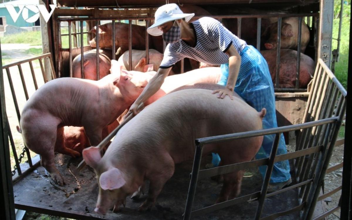 Giá lợn hơi hiện chạm đáy 1 năm.