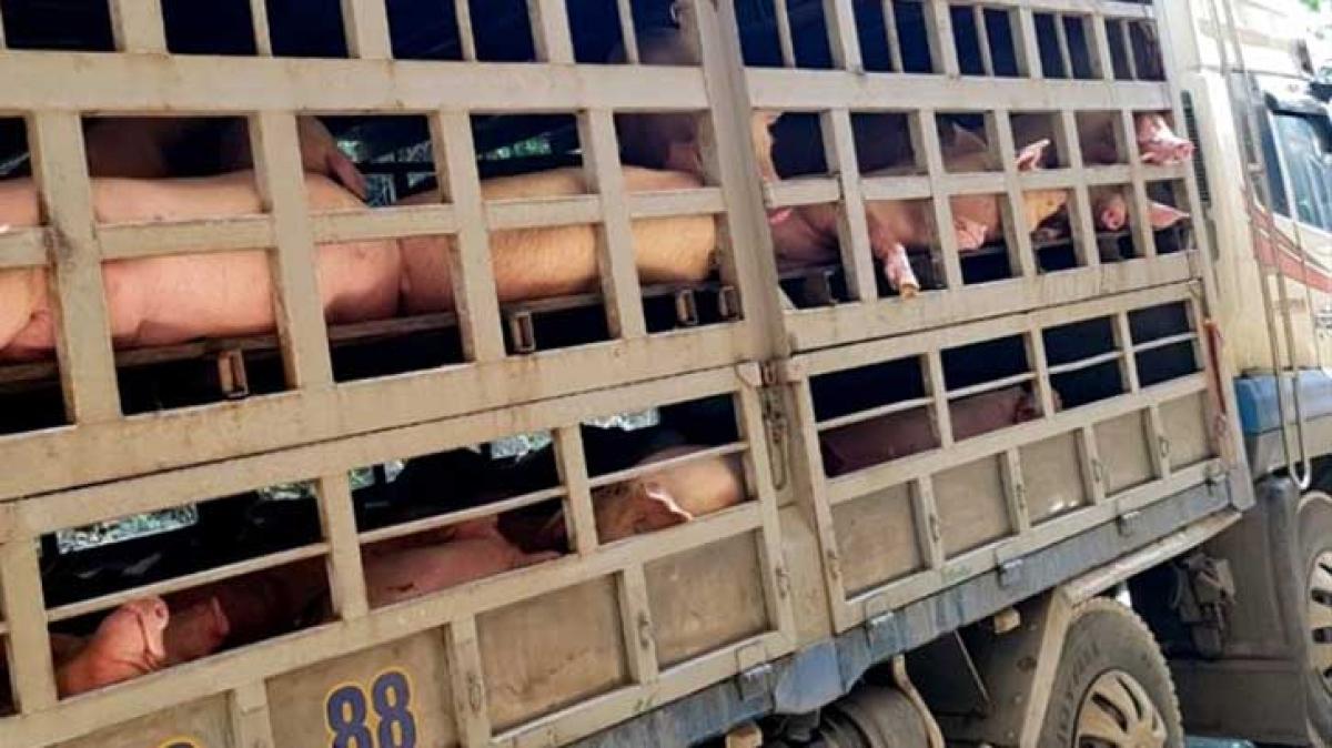 Lợn thịt không rõ nguồn gốc là nguồn lây lan dịch bệnh. (Ảnh minh họa: Báo Lao động)