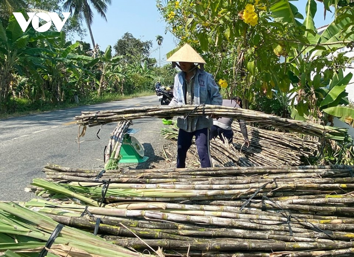 Nông dân Hậu Giang thu hoạch mía bán chục với giá cao
