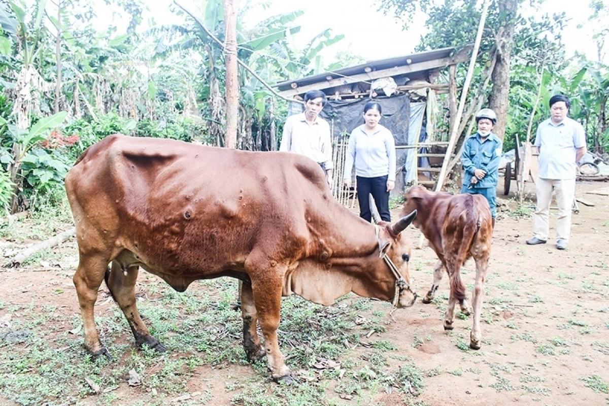 Bệnh viêm da nổi cục trên trâu, bò.