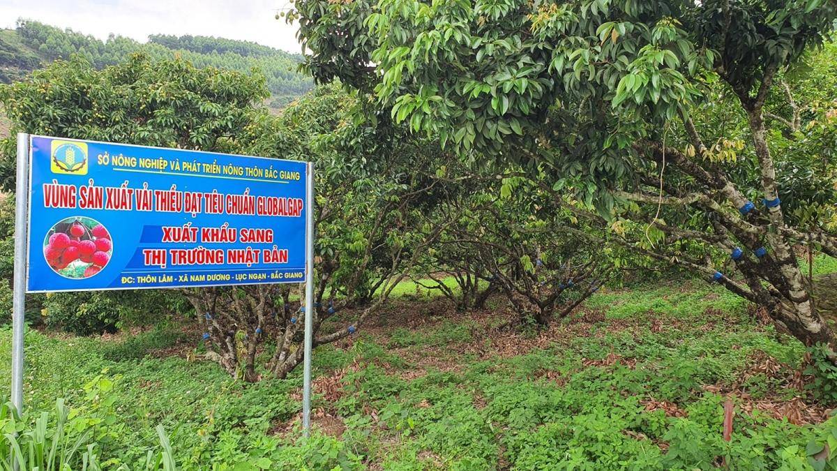 Mùa thu hoạch vải thiều đặc sản Lục Ngạn, tỉnh Bắc Giang đang đến gần, dự báo, năm naysản lượng vải thiều nhận định sẽ cao hơn những năm trước.