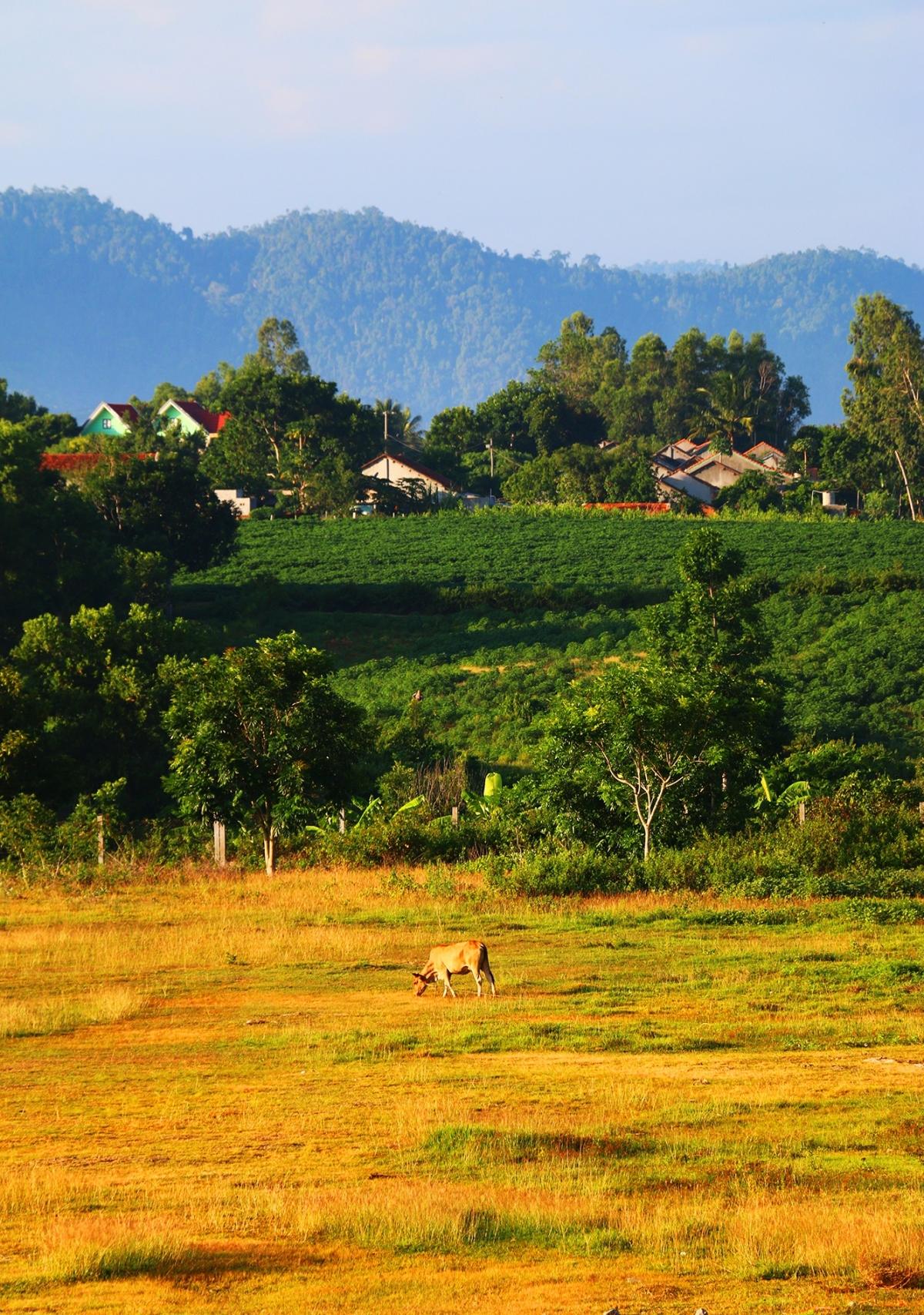 Bò nhởn nhơ gặm cỏ trên một bãi đất trống ở ngoại vi TT.Hai Riêng, H.Sông Hinh. Đây là thị trấn miền núi của Phú Yên, có khung cảnh và bờ hồ ở khu vực trung tâm được ví như hồ Xuân Hương của Đà Lạt.