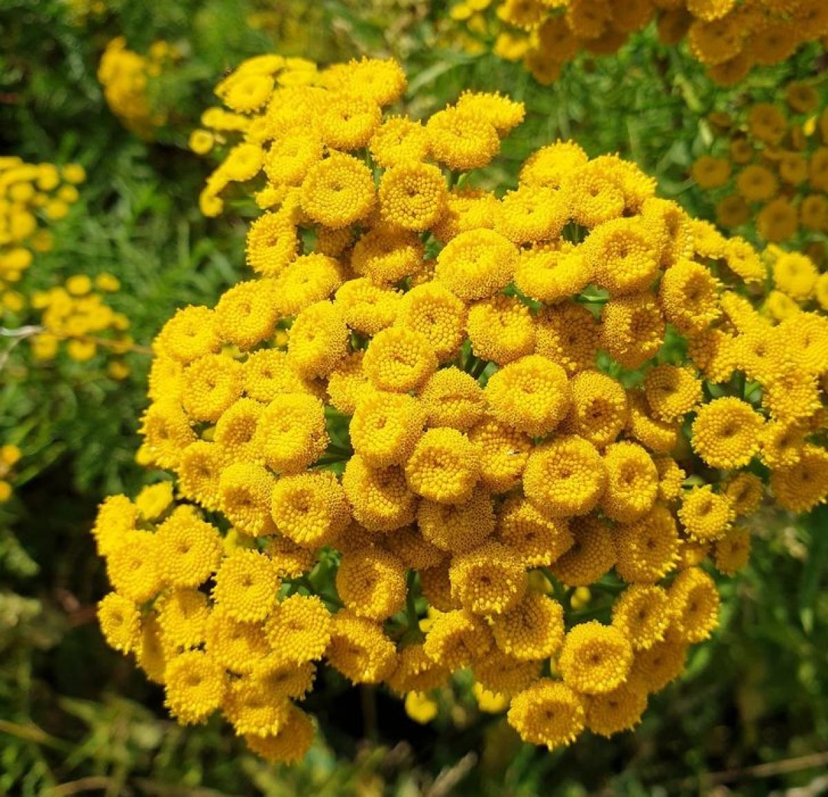 Với những bông hoa màu vàng tươi,cúc hương ngải nổi tiếng với tác dụng đuổi ruồi.Bạn có thể chà xát lá lên da hoặc để trong nhà.Mùi thơm sẽ được tỏa ra và ruồi sẽ không vào nhà./