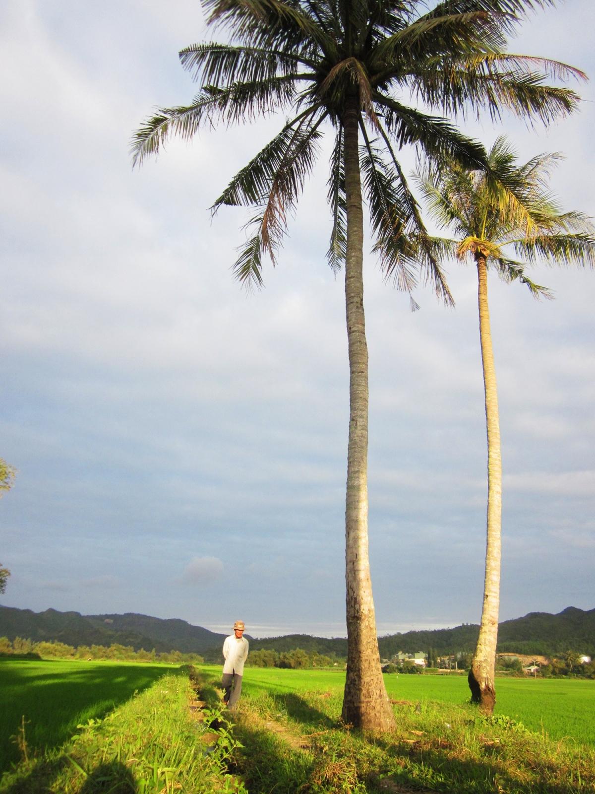 Cụ ông đi thăm ruộng trong nắng chiều nhạt dần ở TT.La Hai, H.Đồng Xuân. Người địa phương thường đi xem chừng nước từ mương thủy lợi có vô ruộng, lúa có sâu rầy hay chưa.
