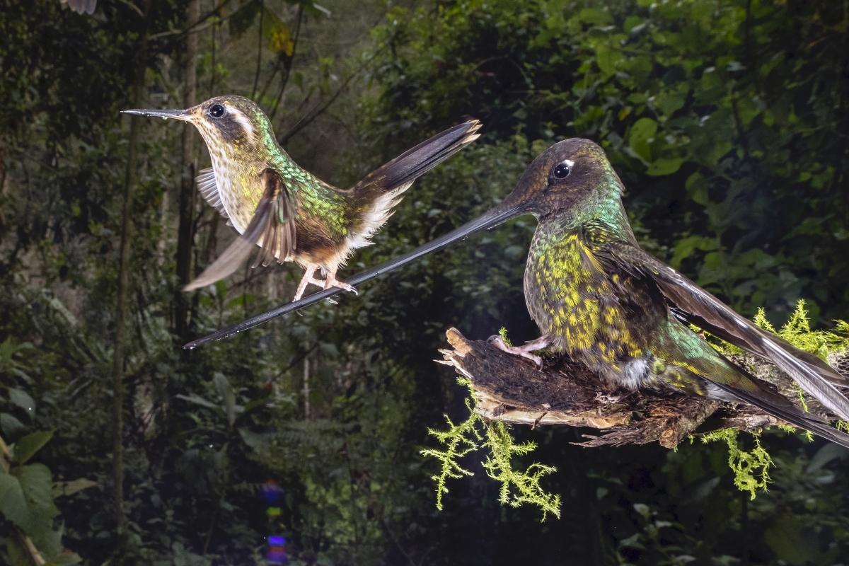 """Bức ảnh """"Nghệ sĩ đi trên dây"""" của nhiếp ảnh gia Nicolas Reusens chụp tại Papallacta, Ecuador. Nhiếp ảnh gia này đã mất 6 ngày để ghi lại khoảnh khắc một chú chim ruồi đi thăng bằng trên mỏ một chú chim ruồi khác - điều mà nhiếp ảnh gia này chưa từng thấy trước đó trong 10 năm quan sát chim ruồi."""